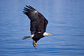 Bald eagle with a fish in its talons