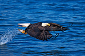 Bald eagle catching a fish in flight