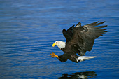 Bald eagle about to catch a fish