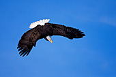 Eagle going into a dive
