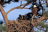 Adult eagle perched above its chicks in the nest