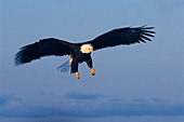Bald eagle coming in for a landing