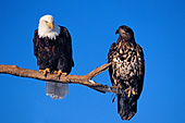 Mature & immature eagles on a branch