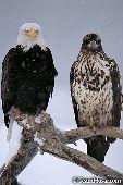 Mature & immature eagle on a snag (winter)