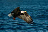 Bald eagle flying with its catch