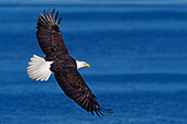 Eagle soaring over Kachemak Bay (winter)