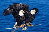 Pair of eagles on a snag over Kachemak Bay