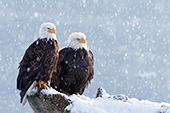Pair of eagles resting during a heavy snowfall