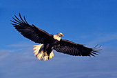 Soaring eagle getting ready to land