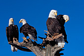 Four adult eagles perched on a snag