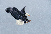 Eagle landing in a snowstorm