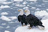 Eagle pair on a snow-covered rock