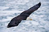 Eagle soaring over icy Kachemak Bay (winter)