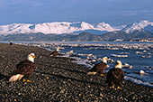 Group of eagles on a beach with mountains behind