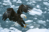 Eagle landing on shore in a snowstorm