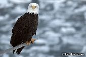 Eagle perched on a snag over an icy bay