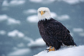 Eagle resting during a snowfall