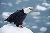 Eagle calling in a snowstorm