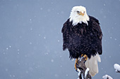 Eagle perched on a snag during a snowstorm