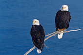 Eagle pair perched on a branch above water