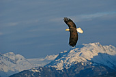 Eagle soaring over snow-covered mountains