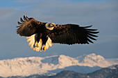 Eagle flying over snow-covered mountains