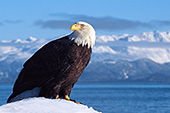Eagle perched above Kachemak Bay (winter)