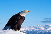 Eagle calling on top of a snow-covered hill