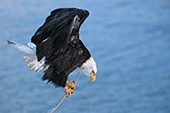 Eagle trying to balance on a small branch over Kachemak Bay