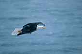 Eagle soaring over water in a snowstorm