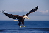 Eagle coming in for a landing on the beach