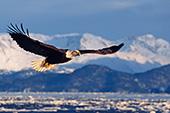 Eagle flying over icy Kachemak Bay