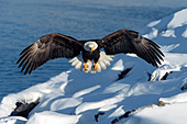 Eagle coming in for a landing in the snow