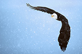 Eagle flying in a snowstorm