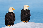 Pair of eagles on a snow-covered cliff (winter)