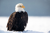 Adult eagle in snow