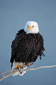 Eagle perched on a snag