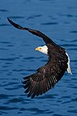 Bald eagle flying over water