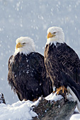 Bald eagle pair in a snowstorm