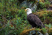 Bald eagle perched on the side of a clif