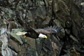 Bald eagle taking flight from a cliff