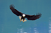 Bald eagle about to land in its nest