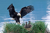 Eagle landing in its nest occupied by 2 chicks