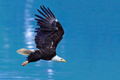 Bald eagle flying over calm water