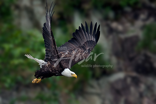 Bald eagle taking flight from a cliff Alaska Peninsula