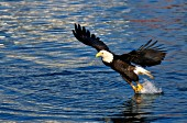 Bald eagle catching a fish