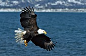 Eagle flying over water
