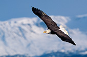 Eagle soaring in front of snowy mountains