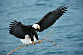 Eagle landing on a branch over water