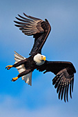 Eagle changing direction in mid-flight